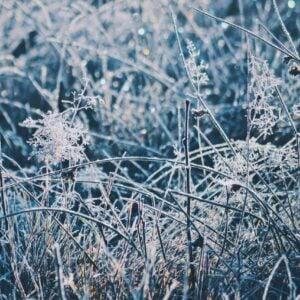 Jack Frost Cannabis Strain