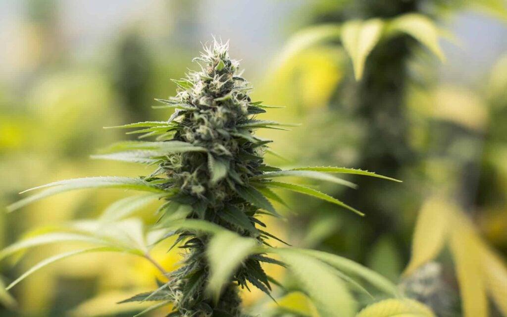 Sour Diesel CBD Hemp Flower Plant